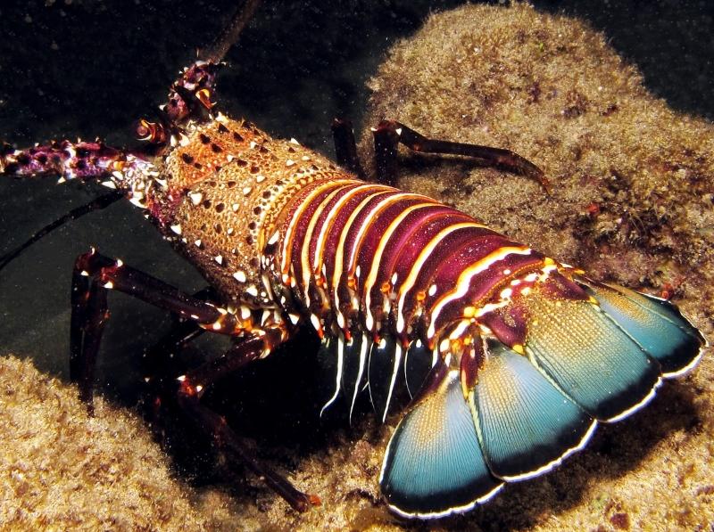Banded Spiny Lobster - Panulirus marginatus
