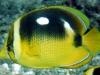 Fourspot Butterflyfish - Chaetodon quadrimaculatus