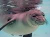 Hawaiian Monk Seal -Monachus schauinslandi
