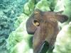 Octopus - Cephalopod mollusc