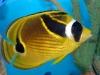 Raccoon Butterflyfish - Chaetodon lunula