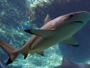Reef Blacktip Shark - Carcharhinus malanopterus