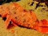 Scorpionfish - Scorpaenopsis sp