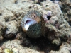 Whitemouth Moray - Gymnothorax meleagris