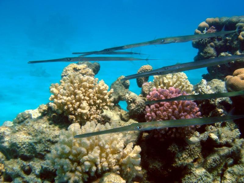 Cornetfish - Genus fistularia