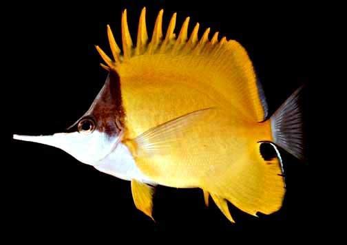 Forcepsfish - Forcipiger flavissimus