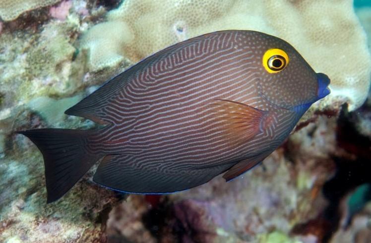 Goldring Surgeonfish - Ctenochaetus strigosus