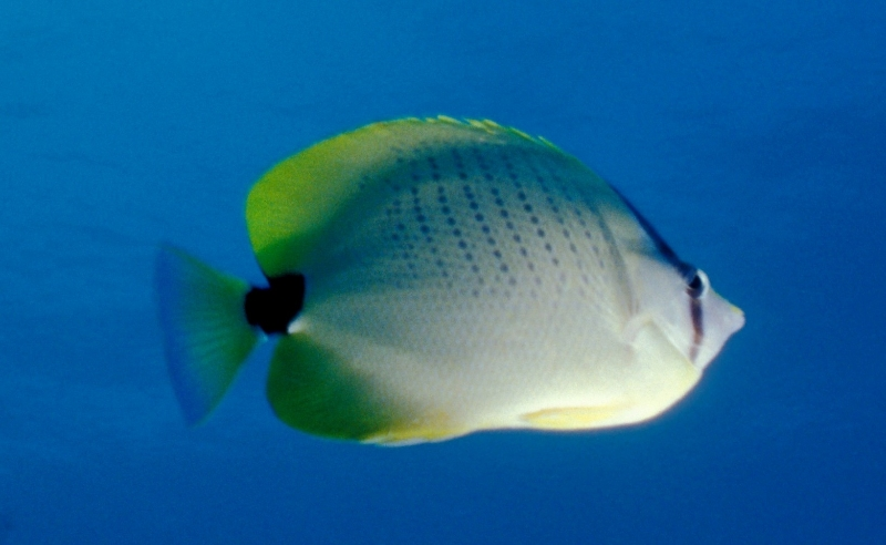 Millesteed Butterfly Fish - Chaetodon miliaris