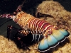 Banded Spiny Lobster - Panulirus marginatus
