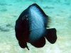 Hawaiian Dascyllus - Dascyllus albisella