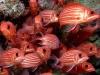 Hawaiian squirrelfish - Sargocentron xantherythrum