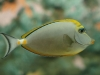 Orange Spine Unicornfish - Naso litulatus