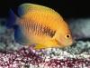 Potter\'s Angelfish - Centropyge potteri