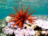 Red Pencil Urchin - Heterocentrotus mamillatus