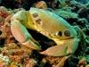 Reef Crab - Carpilius maculatus