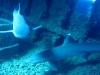 Reef Whitetip Shark - Triaenodon obesus