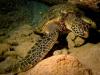 Sea Turtle - Chelonia mydas