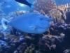 Whitemargin Unicornfish - Naso annulatus